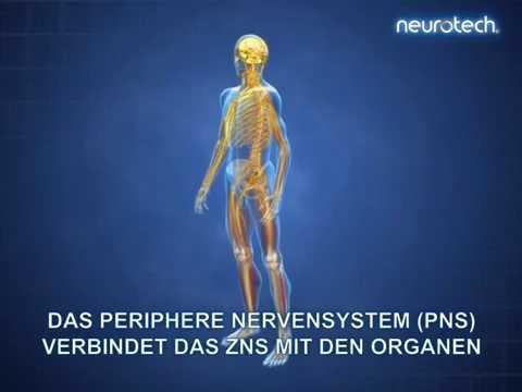 Grundlagen 1: Das Nervensystem ZNS PNS (neurotech) - YouTube