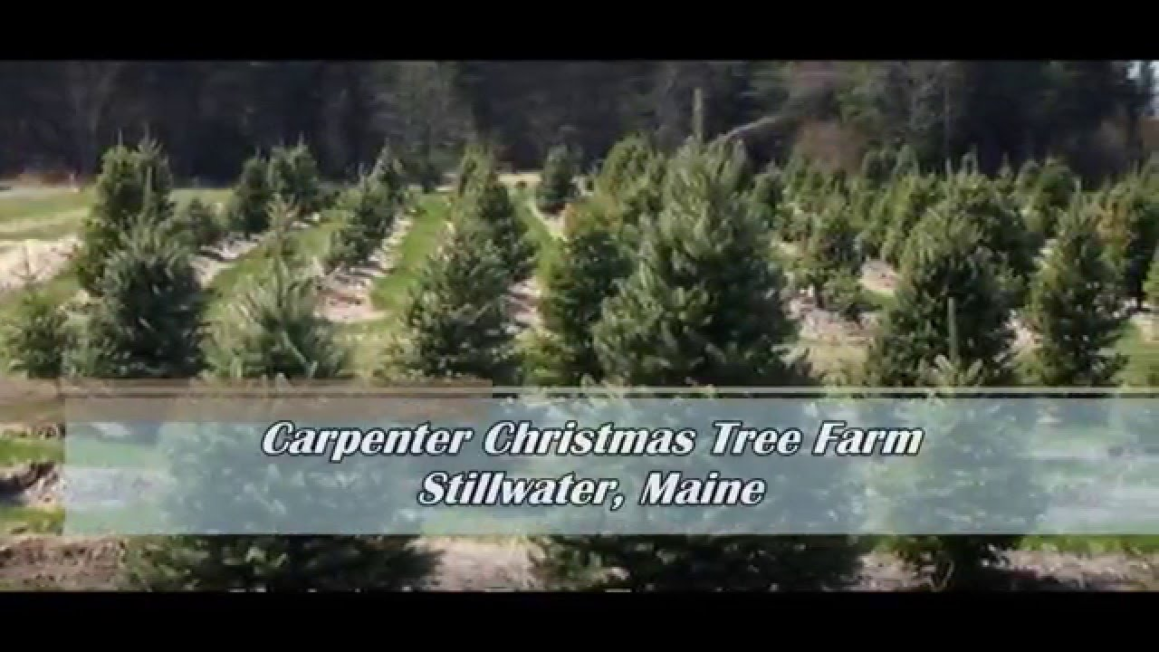 Christmas Tree Farm Lebanon Ohio Part - 37: Carpenter Christmas Tree Farm, Stillwater, Maine