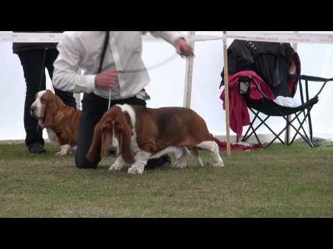 Best in Show competition The Basset Hound  Club CC Show 2011