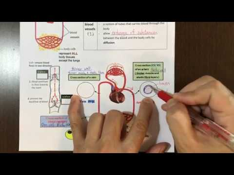 Lo Sir Teaching DSE Biology ~ Transport in Humans Part 1 ~ Blood Vessels 血管