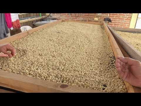 Veracruz Agropecuario - Secado del Café de Especialidad
