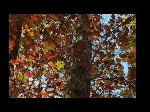 Plant of the Week: Quercus alba, White oak
