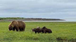 Baby bears at Hallo Bay, Katmai National Park in Alaska.