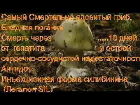Самый Смертельно ядовитый гриб Бледная поганка  ядовитые грибы Сбор грибов Тихая охота Фунготерапия