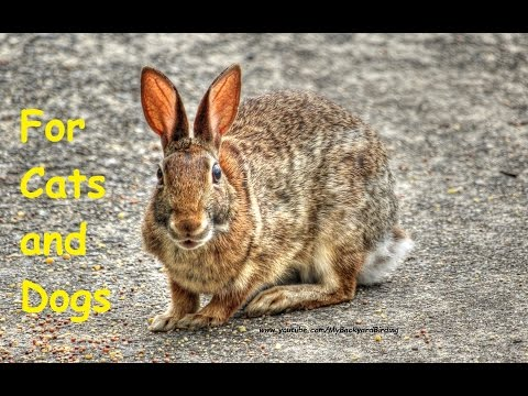 Video For Cats and Dogs - Cottontail Rabbits
