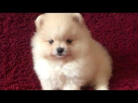 11+ Anjing mini pom murah jogja terupdate