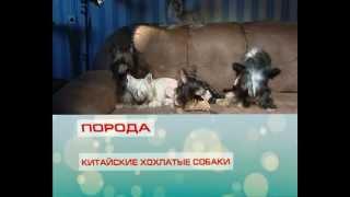 "КИТАЙСКАЯ ХОХЛАТАЯ СОБАКА на канале ""Санкт-Петербург""."
