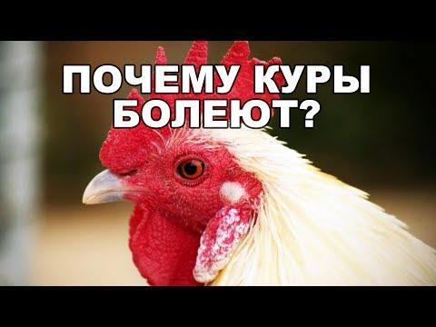 Почему куры болеют и умирают зимой и летом? Что нужно знать!