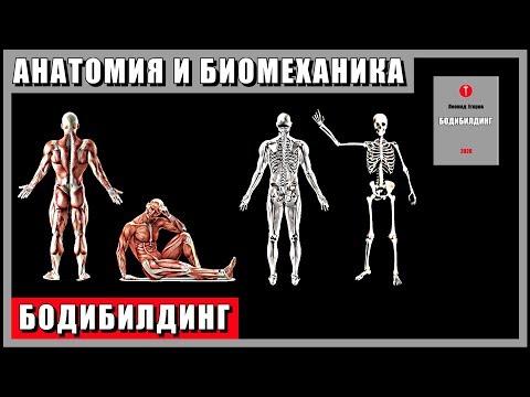 7. БОДИБИЛДИНГ. Анатомия и биомеханика