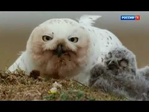 Зимняя сказка. Путешествие полярных сов.