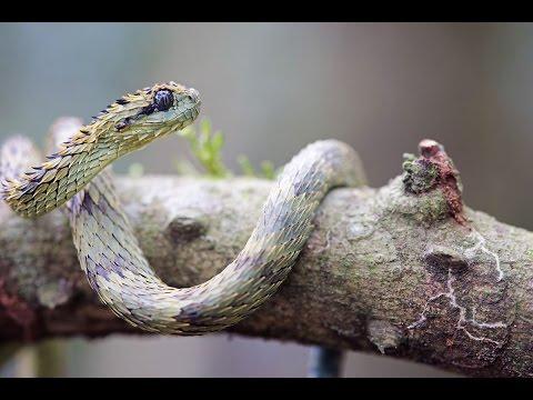 Snakes of Uganda East Africa / serpents Ouganda afrique de l'Est / atheris 2017