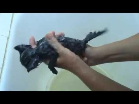 Как обработать котенка от блох в домашних условиях