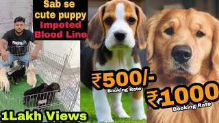 Beagle puppy top quality and heavy bone available Delhi and India..9811962478