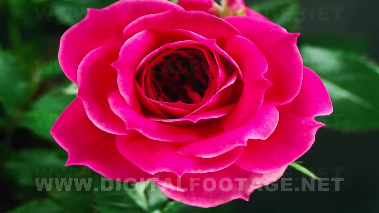 fullhd rose timelapse 02 - youtube
