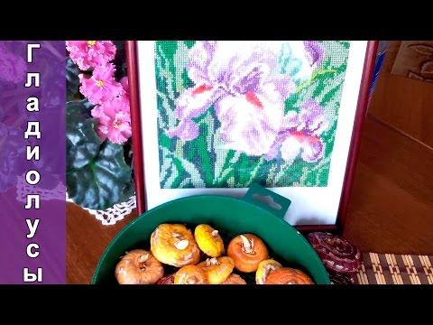 Гладиолусы подготовка луковиц к посадке. Часть 1-я