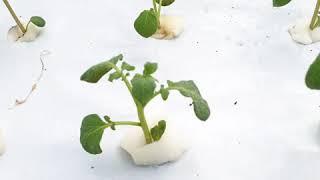 20190915 day12 potato hydropon…