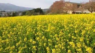 飯山市菜の花公園2016