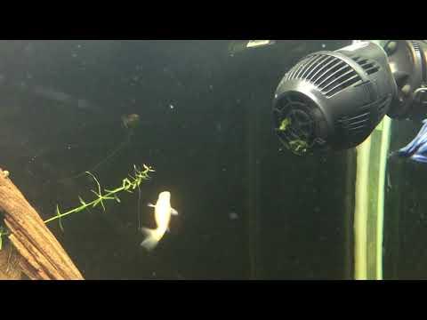 Rosy Red Minnow (feeder Fish) In 110g Aquarium