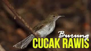 Download Mp3  Audio Master  Suara Cucak Rawis Gacor - Kicau Masteran Burung Cucak Rawis Gacor