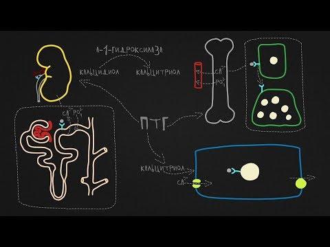 Паратгормон, кальцитонин: органы-мишени, механизм действия