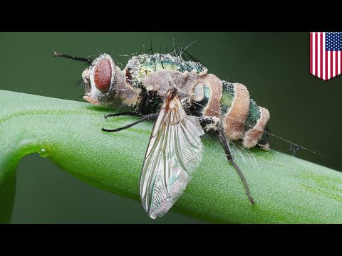 Mind control? Fungus hijacks flies, puppeteers them to death - TomoNews