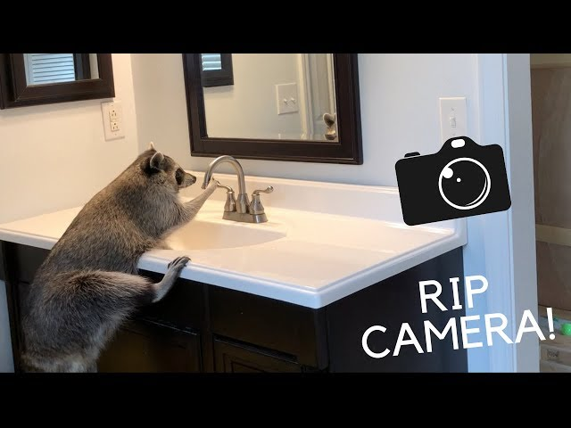 I leave my pet raccoon unattended for an hour!