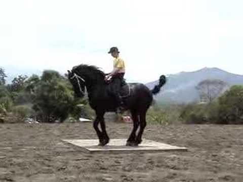 Dancing Friesian Stallion in Costa Rica