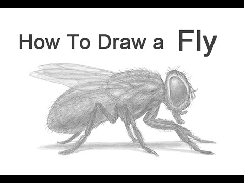How to draw a fly housefly youtube how to draw a fly housefly ccuart Gallery