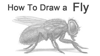 How to Draw a Fly (Housefly)