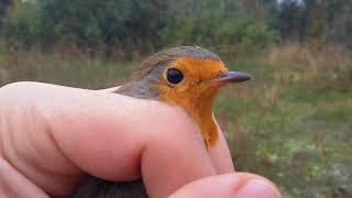 Как выглядит малиновка? А зарянка? А как перелетные птицы находят дорогу? Как происходит миграция?