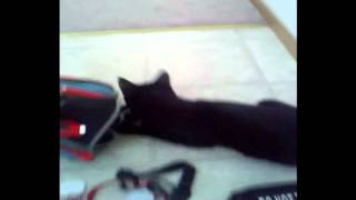 Raven Cat Tries To Wear Service Dog Training Gear Part 1