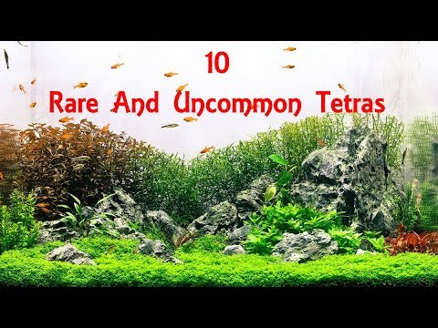 10 Rare And Uncommon Tetras | Animals Unlimited | Sameer Gudhate