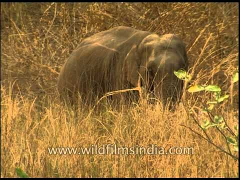 Elephants - the world's largest land mammals