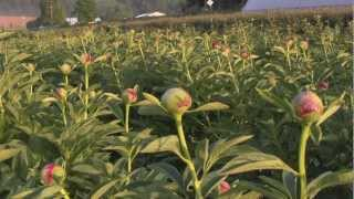 Life on a Flower Farm - Kenyon Growers