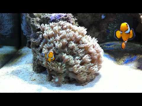 Clownfish True Percula - Hosting Flower Pot