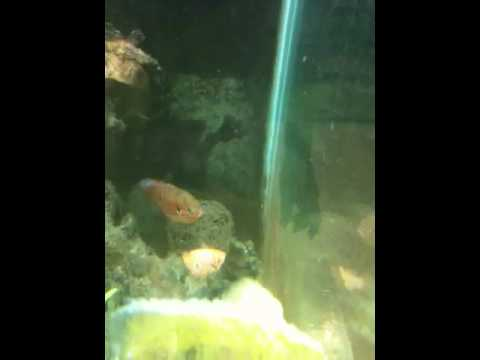 Jewel cichlids laying eggs