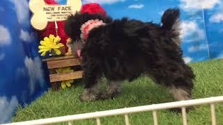 ペットショップ 犬の家 尼崎店 「88810:ミニチュア・シュナウザー」