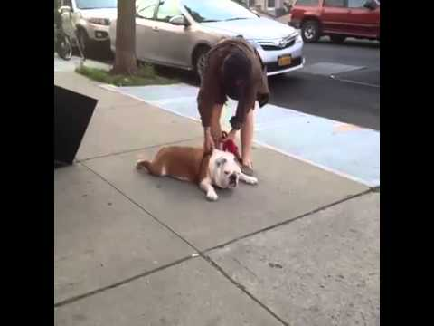 Lazy Bulldog Vine By: Best Animal Vines - YouTube