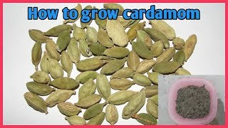 How to grow cardamom from seed