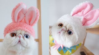 Exotic Shorthair Cat Breed # 2