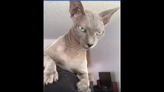 Очень нежная кошка сфинкс