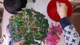 Что на листьях цикламена? Мучнистый червец, мучнистая роса или пыльца? Радикальные меры.