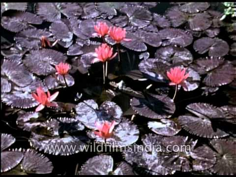 Lotus the national flower of the republic of india 1940 archival lotus the national flower of the republic of india 1940 archival footage mightylinksfo