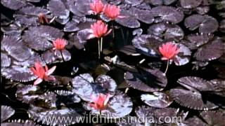 Lotus - The national flower of the Republic of India