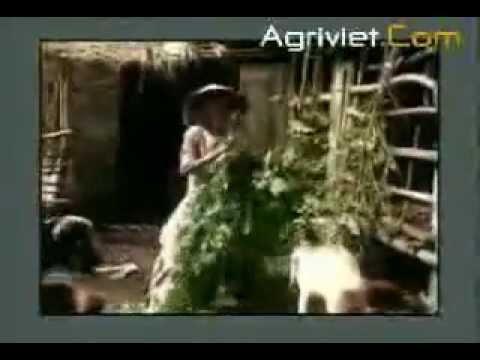 Chăn nuôi Dê thịt và Dê sữa