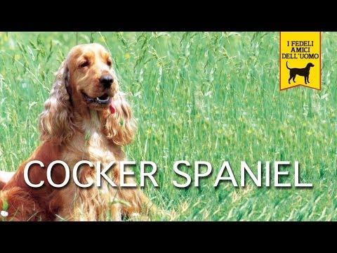 COCKER SPANIEL INGLESE trailer documentario