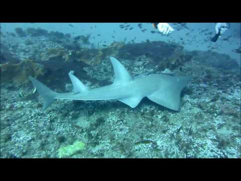 Giant Guitarfish, Ponta Do Ouro