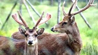 DEER TIMOR - Javan Rusa Timor - Wild Life Animal Planet [HD]