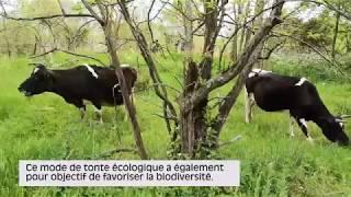 Les vaches et les boucs reviennent au parc des Beaumonts