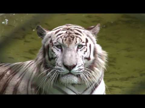 White Tiger Zoo Safari - Sao Paulo